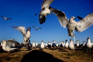 2009_OV_seagulls1-2