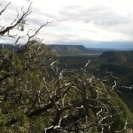 Barren Juniper over Canyon View