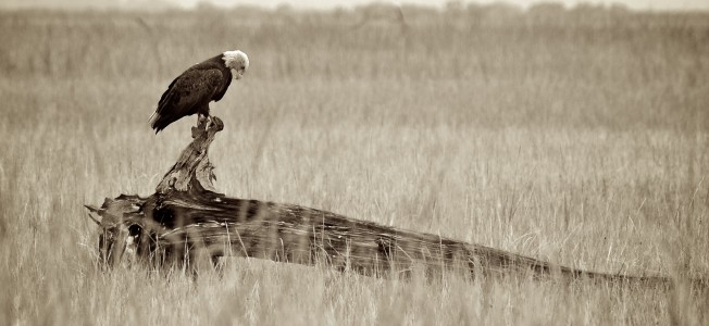 eagle-on-driftwood-wide-BW