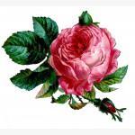 PinkRoseScrapGraphicsFairy2
