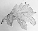 oak leaf
