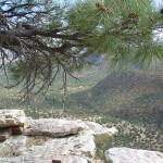 Ravenrock Pine